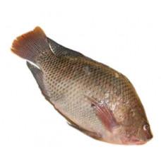 אמנון (מושט) - זלאיט דגים