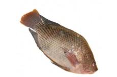 זלאיט דגים - אמנון (מושט)