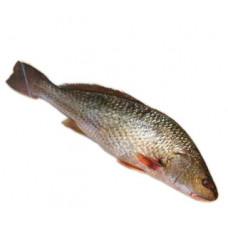 מוסר - זלאיט דגים